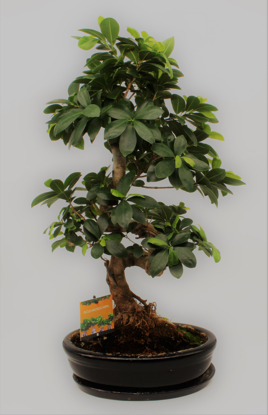 Slika Bonsai  Ficus Microcarpa