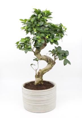 Slika Bonsai  Ficus