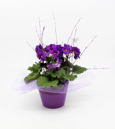 Aranžiran Primula Obconica (nežika)2