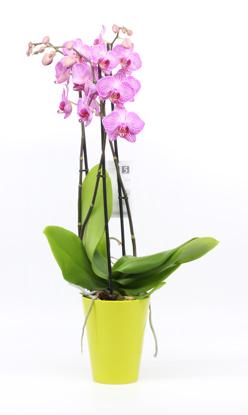 Slika Orhideja