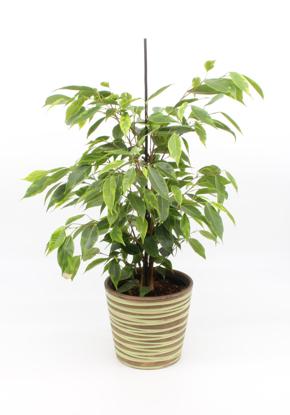 Slika Ficus Benjamin pisanolistni