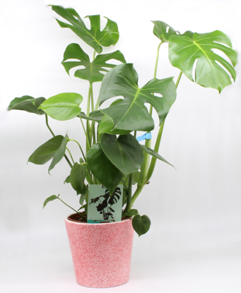 Slika Monstera